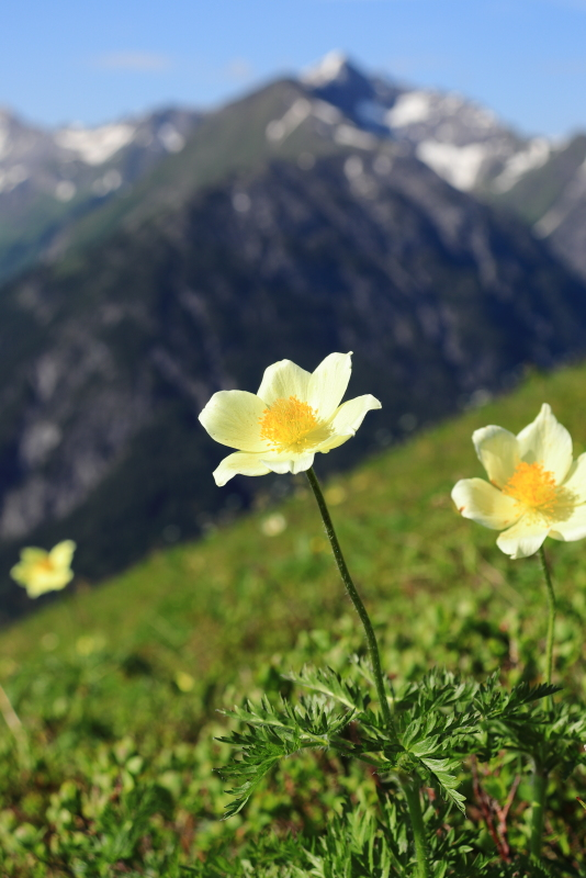 Gelbe Alpen-Kuechenschelle_1.JPG