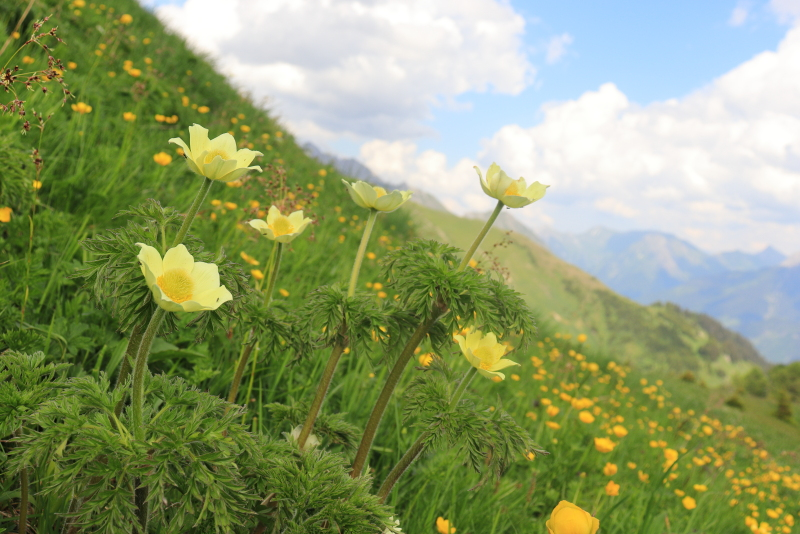 Gelbe Alpen-Kuechenschelle_2.JPG