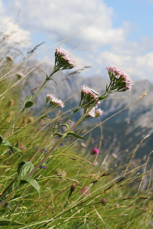 Valeriana montana 3a.JPG